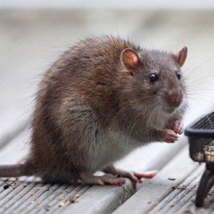 mouse exterminator, rat exterminator, pest control loudoun county va, bugpros termite purcellville va, mice exterminator, how to get rid of mice, rodent control